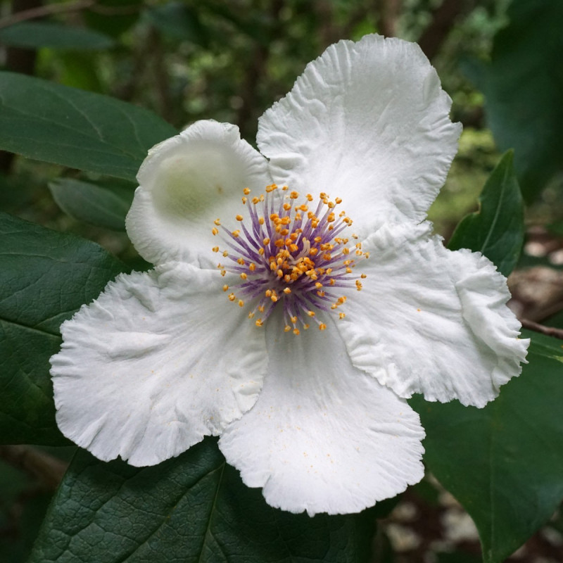 Stewartia ovata var.grandiflora par Bibliothèque d'images végétales de Boston, États-Unis  de Wikimedia commons