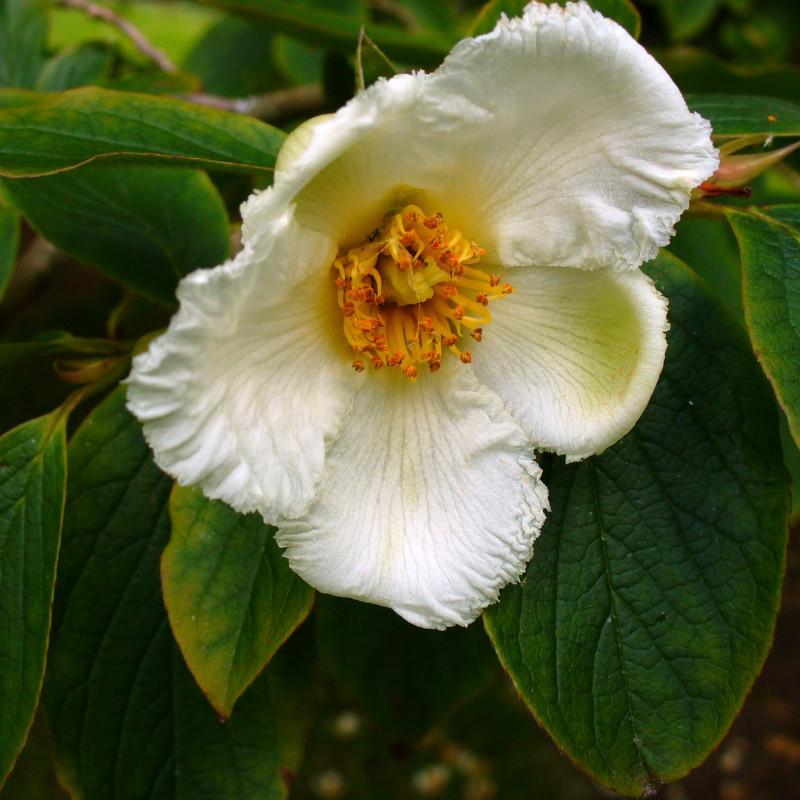 Stewartia pseudocamellia var. koreana par Scott Zona de Wikimedia commons