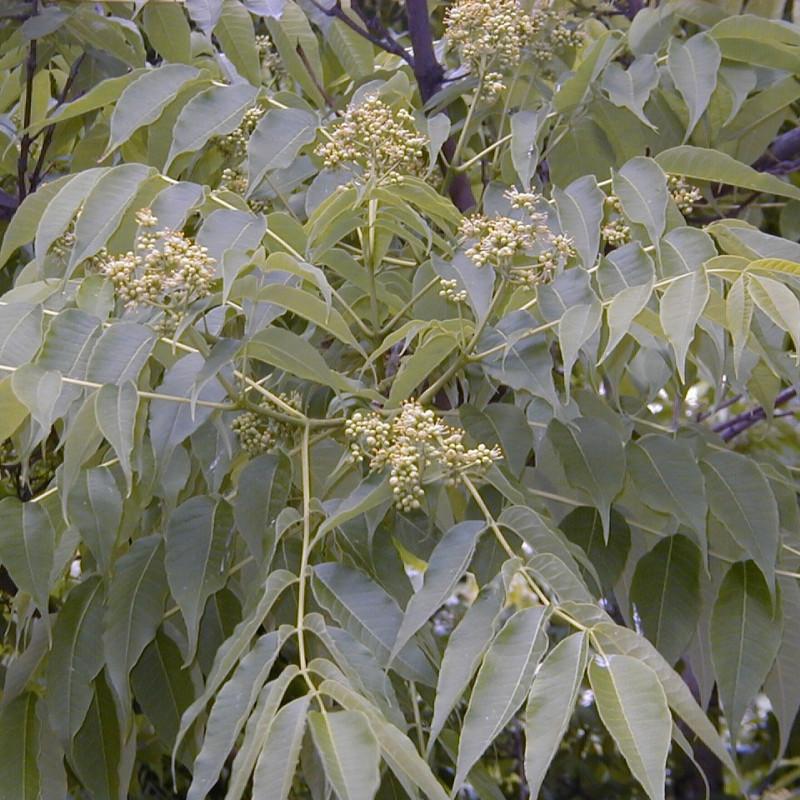 Phellodendron amurense de A. Barra, CC BY 3.0, via Wikimedia Commons