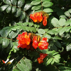 Spathodea campanulata par Bishnu Sarangi de Pixabay.