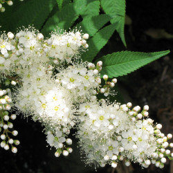 Sorbus commixta par Tanaka Juuyoh de Wikiimedia commons