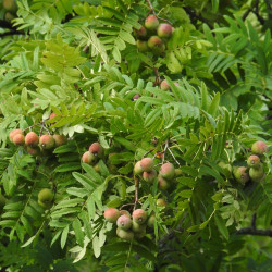 Sorbus domestica par Robert Flogaus-Faust de Wikimedia commons