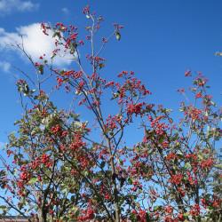 Sorbus intermedia par AnRo0002 de Wikimedia commons