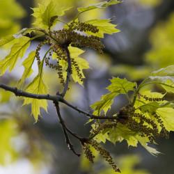 Quercus rubra de Fürstenauer, CC BY-SA 3.0, via Wikimedia Commons