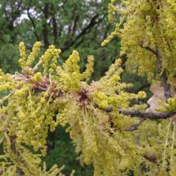 Quercus pubescens de Stefan.lefnaer, CC BY-SA 3.0, via Wikimedia Commons