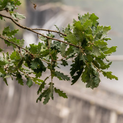 Quercus petraea de Krzysztof Golik, CC BY-SA 4.0, via Wikimedia Commons
