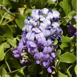 Sophora secundiflora par Stan Shebs de Wikimedia commons