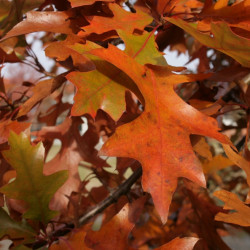 Quercus palustris de Sten Porse, CC BY-SA 3.0, via Wikimedia Commons