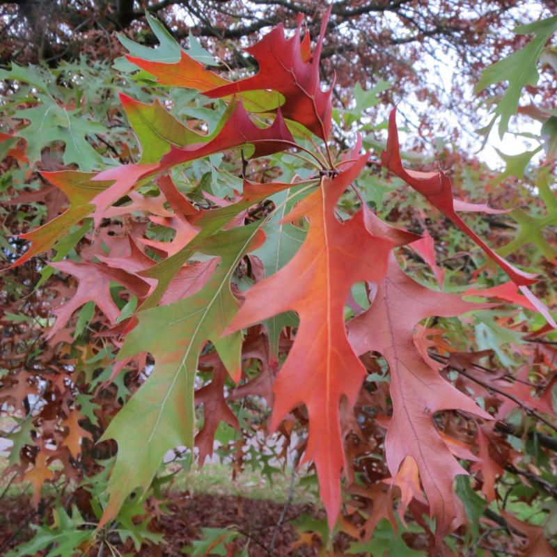 Quercus coccinea de AnRo0002, CC0, via Wikimedia Commons