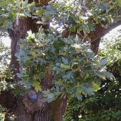 Quercus garryana de MyName (Jamidwyer (d)), Public domain, via Wikimedia Commons