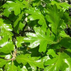 Quercus garryana de J Brew, CC BY-SA 2.0, via Wikimedia Commons