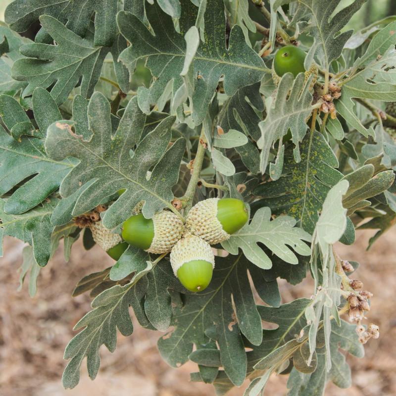 Quercus pyrenaica de Luis Fernández García, CC BY-SA 4.0, via Wikimedia Commons