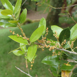 Quercus chrysolepis de Krzysztof Ziarnek, Kenraiz, CC BY-SA 4.0, via Wikimedia Commons