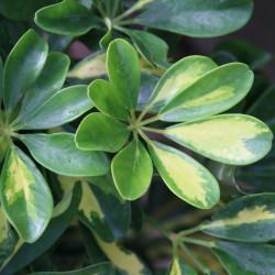 Schefflera arboricola par David J. Stang de Wikimedia commons