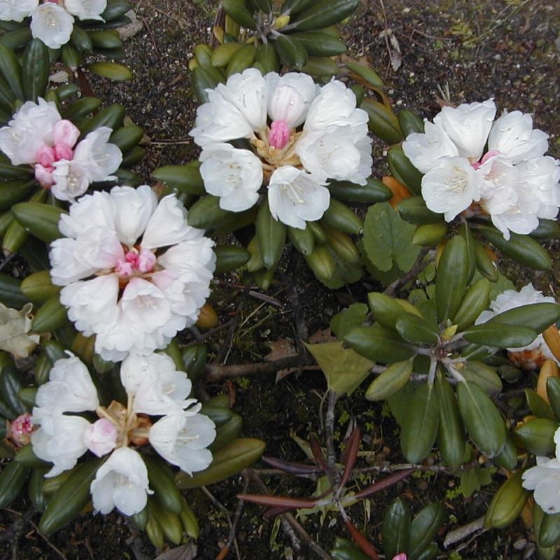 Rhododendron yakusimanum de A. Barra, CC BY 3.0, via Wikimedia Commons