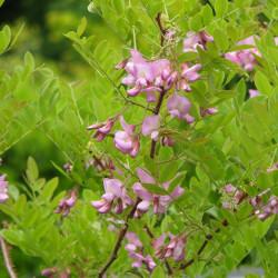 Robinia fertilis de peganum from Henfield, England, CC BY-SA 2.0, via Wikimedia Commons