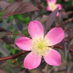 Rosa glauca par Hamachidori de Wikimedia commons