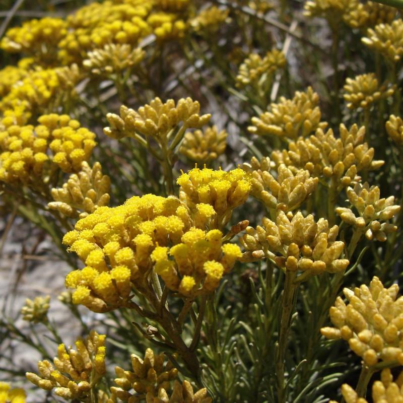 Helichrysum italicum spp serotinum par Mâle drow de Wikimedia commons