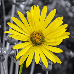 Silphium perfoliatum par Roy Harryman de Pixabay