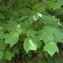 Acer pennsylvanicum par Jaknouse sur Wikipédia anglais