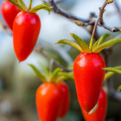 Diospyros rhombifolia par Kazuhiro Tsugita de Wikimedia commons