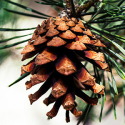Pinus (Pin)