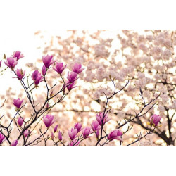 Graine de Magnolia - Acuminata, Liliflora, Officinalis