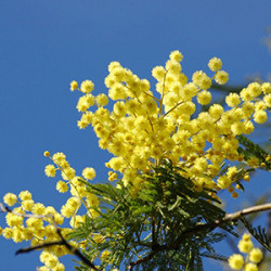 Acacia : Achat / Vente graine d'Acacias en ligne